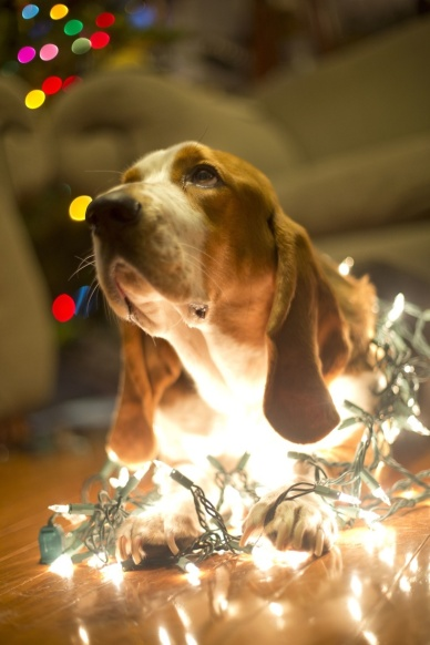 Basset Hound in Christmas lights.