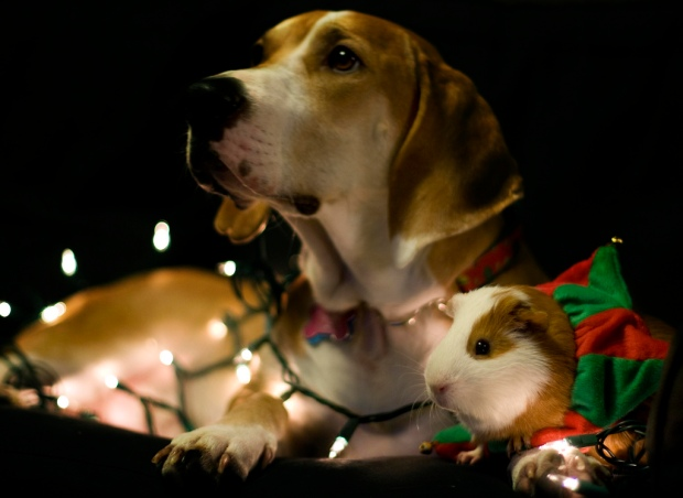 Beagle and Guinea Pig wrapped in Christmas lights.