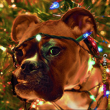 Boxer wrapped in Christmas lights.