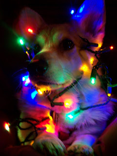 Corgi wrapped in Christmas lights.