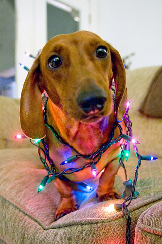 Dachshund wrapped in Christmas lights.