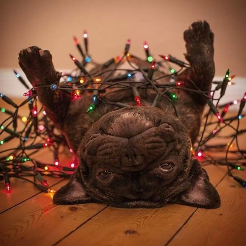 French Bulldog wrapped in Christmas lights.