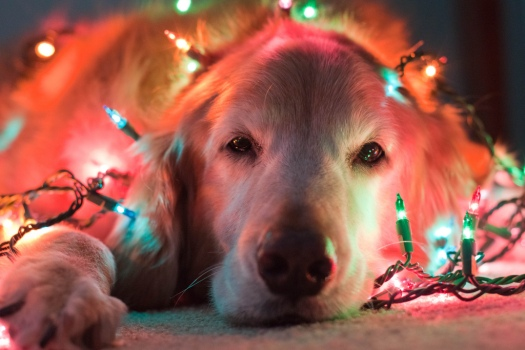 Golden Retriever in Christmas lights.