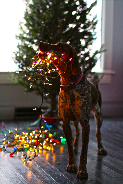 German Shorthaired Pointer with Christmas lights.