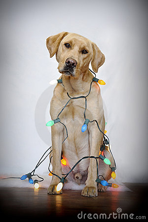 Labrador Retriever in Christmas lights.