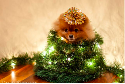 Pomeranian wrapped in Christmas garland and lights.