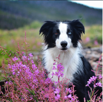Border-Collie-flower-field.jpg