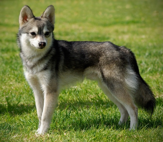 June's Dog of the Month – Alaskan Klee Kai – Shepherds Grove Studio