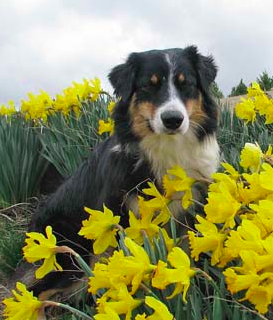 Australian Shepherd and Daffodils