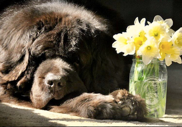Newfoundland Dog and Daffodils