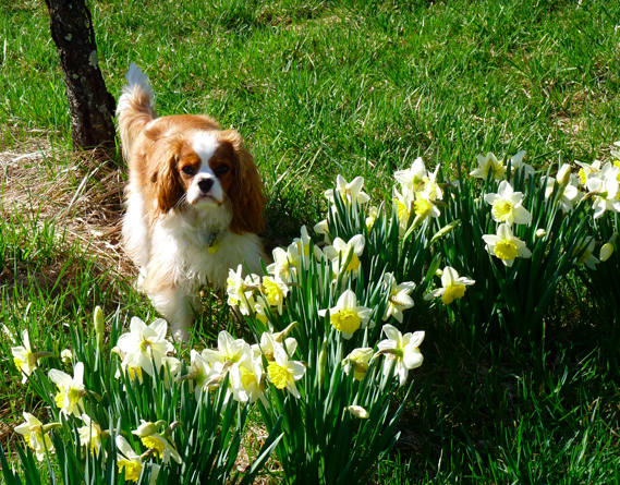 Cavalier King Charles and Daffodils