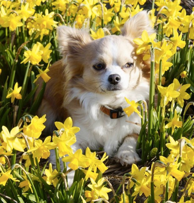 Chihuahua and Daffodils