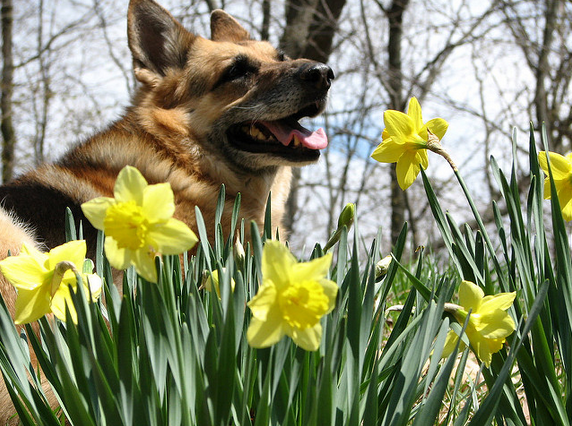 German Shepherd Daffodils