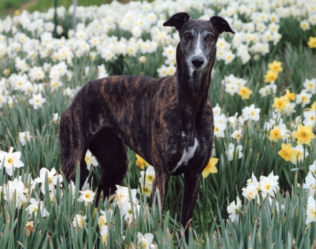 Greyhound and Daffodils
