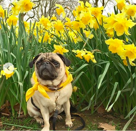 Doug the Pug and Daffodils