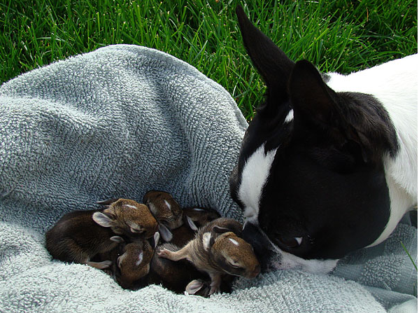 Boston Terrier and bunny littter