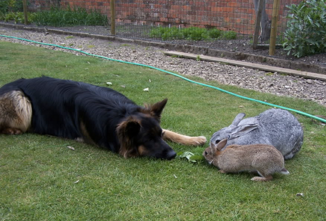 German Shepherd and Bunnies
