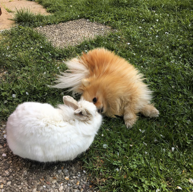 Pomeranian and Bunny