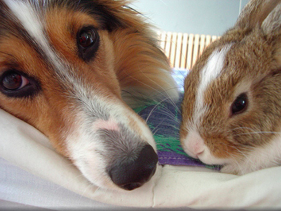 Sheltie-and-Rabbit