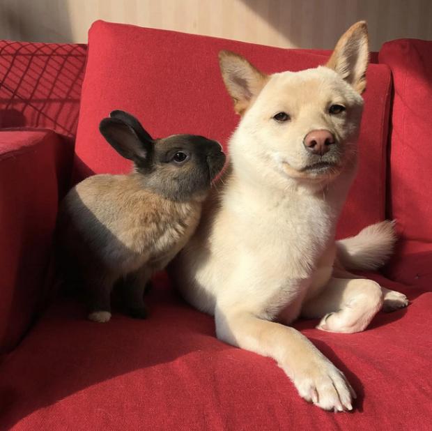 Shiba Inu and Rabbit