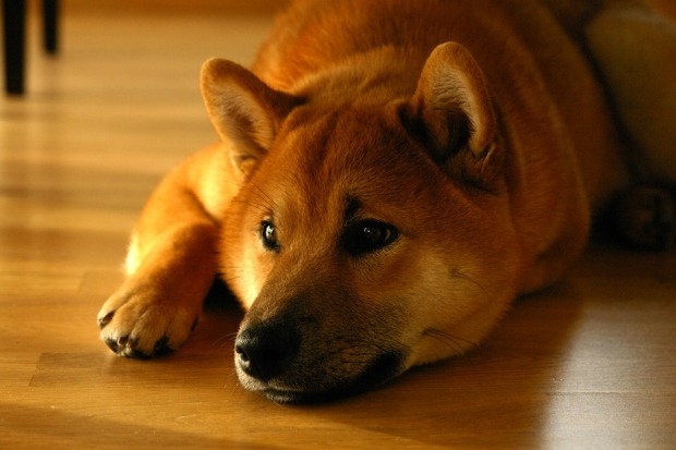 Shiba Inu - Dog of the Month at Shepherds Grove